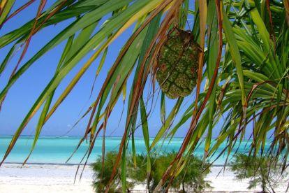 Afrika Zanzibar Ananas Strand Rejser