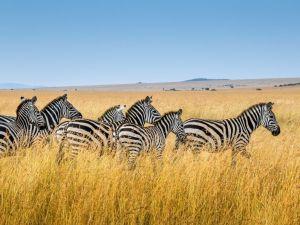 Afrikka Kenia Zebra Safari Masai Mara Travel