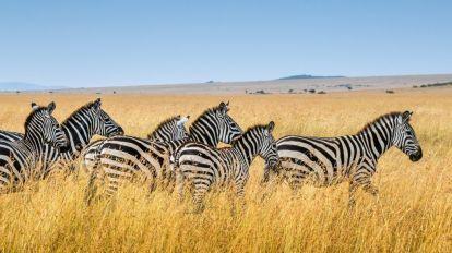 Afrika Kenya Zebra Safari Masai Mara Rejser