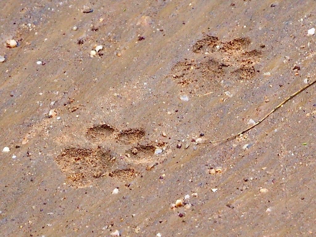 Sri lanka - Yala national park - leopardspor - rejser