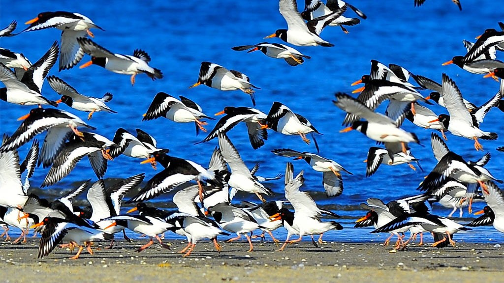 Mandø - strandskader - Vadehavet - sort sort - øer i Danmark