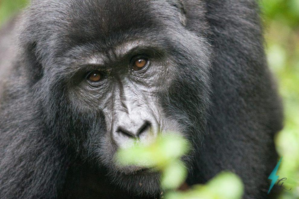 Kenya og Ugandas særlige dyreliv, kenya, uganda, afrika, østafrika, bjerggorillaer, rejser, rickshaw tours & travel