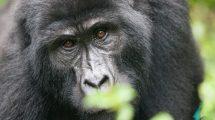 Kenya och Ugandas speciella djurliv, Kenya, Uganda, Afrika, Östafrika, Bergsgorillor, Resor, Rickshaw Tours & Travel