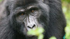 Kenya and Uganda's special wildlife, kenya, uganda, africa, east africa, mountain gorillas, travel, rickshaw tours & travel