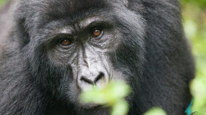 Kenya og Ugandas spesielle dyreliv, Kenya, Uganda, Afrika, Øst-Afrika, fjellgorillaer, reiser, rickshaw-turer og reiser