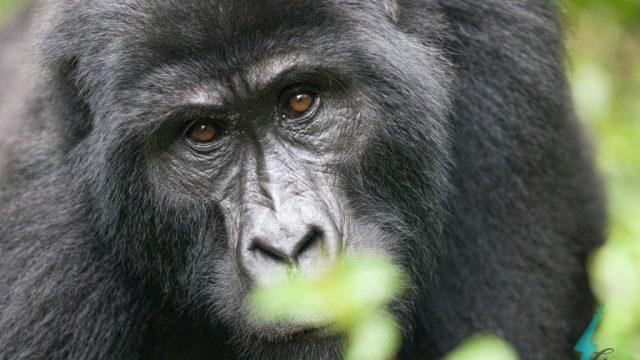 Ειδική άγρια ζωή της Κένυας και της Ουγκάντας, Κένυα, Ουγκάντα, Αφρική, Ανατολική Αφρική, γορίλες στο βουνό, ταξίδια, περιηγήσεις και ταξίδια στη Ρίκσο