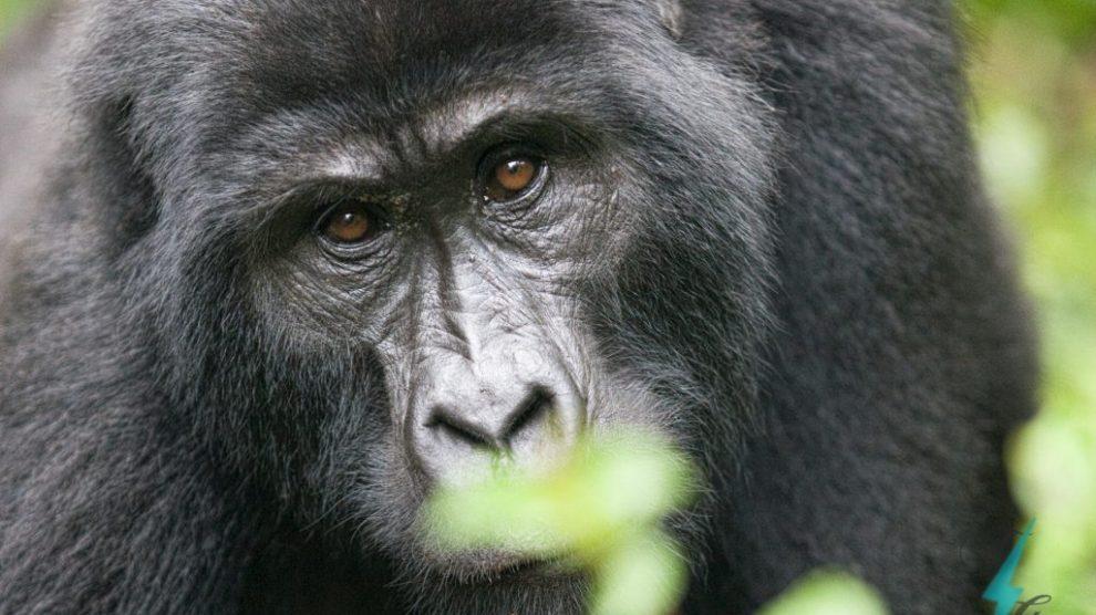 La faune spéciale du Kenya et de l'Ouganda, kenya, ouganda, afrique, afrique de l'est, gorilles de montagne, voyages, excursions en pousse-pousse et voyages