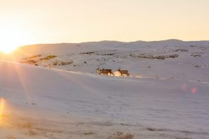 Groenlandia, Kangerlussuaq, renne, viaggi