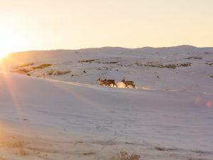 Greenland, Kangerlussuaq, reindeer, paglalakbay