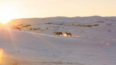 グリーンランド、カンゲルルスアーク、トナカイ、旅行