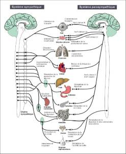 Physiologie - Système neurovégétatif
