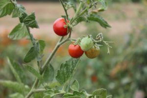 Red Green Tomato Grow Garden Groceries Food 557138 300x200 You Can Enjoy The Outdoors When In The City