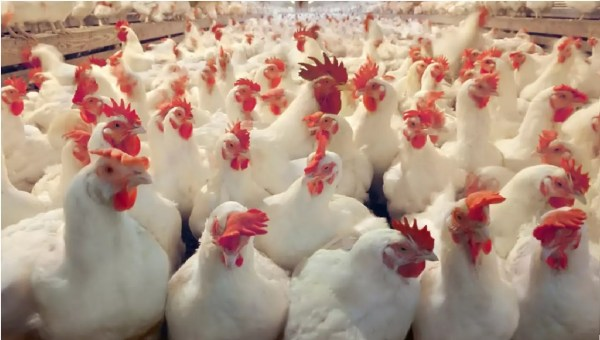 poultry farming in nigeria,profitability of poultry farming in Nigeria,poultry farming in nigeria manual,layers poultry farming in Nigeria,feasibility study on poultry farming in Nigeria,poultry farming in nigeria manual pdf,poultry farming in nigeria nairalandproposal for poultry farming in nigeria
