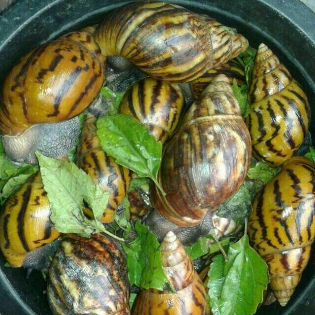 Snail farming in Nigeria,snail farming in nigeria pdf,how lucrative is snail farming in Nigeria,problems of snail farming in Nigeria,cost of snail farming in Nigeria,disadvantages of snail farming,snail farming for beginners,snail farming techniques,snail farming equipment
