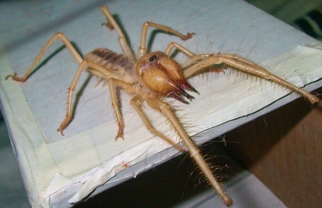 Camel Spiders Live