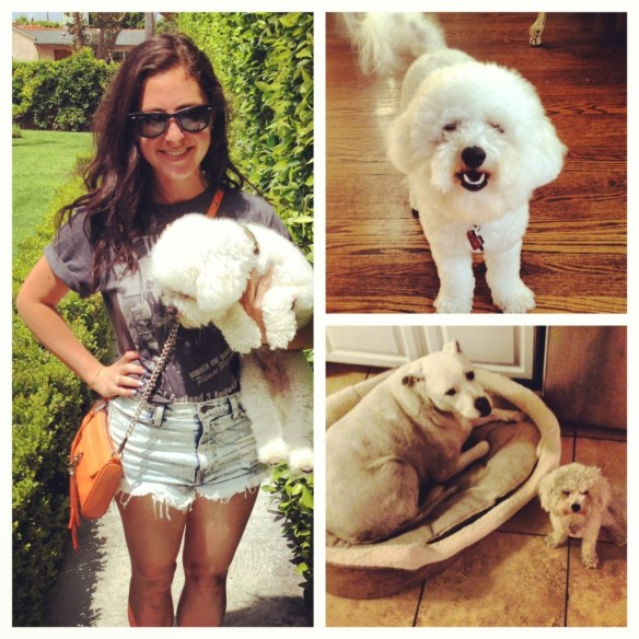 Rebecca Minkoff mini mac in orange, Vintage Beatles T-shirt, high waisted shorts, maltipoo puppy, ray bans