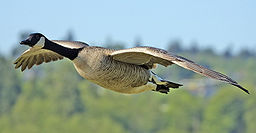 Canadian Goose in Flight Image taken by Alan D. Wilson