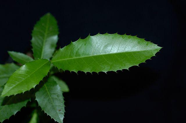 O chá de espinheira-santa é um dos remédios caseiros para azia, má digestão e gastrite