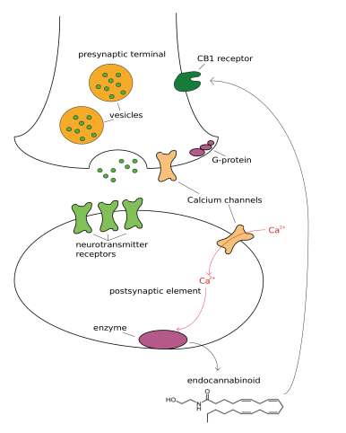 the role of endocannabinoid receptors