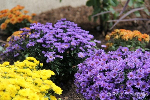 purple asters and yellow and orange mums
