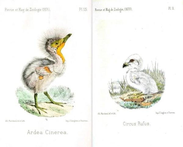 Over 25 Free Vintage Bird Printable Images   Remodelaholic.com #art #free #printable