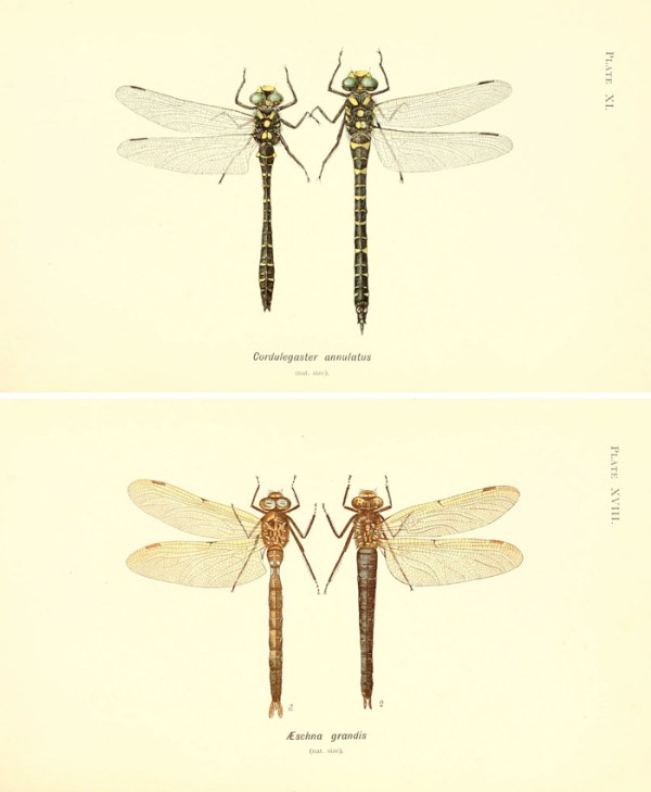 Love these vintage dragonfly images! Print them out for instant wall art!