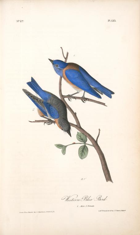 vintage Audubon print Western blue bird NYPL