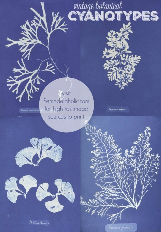 vintage botanical cyanotypes to print for decor via NYPL @Remodelaholic