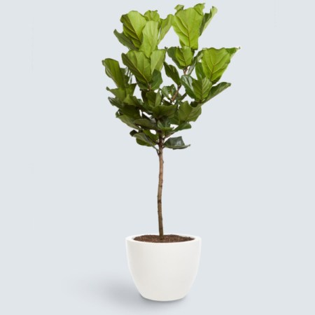 Coastal Dining Room Fiddle Leaf Fig