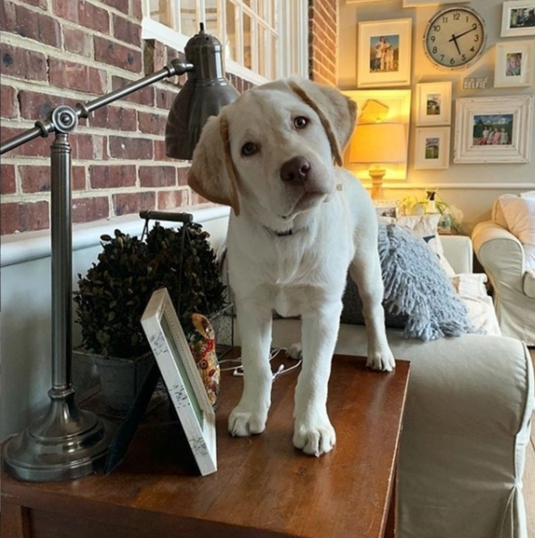 Yellow Lab Puppy Standing On Small Wood Side Table By Couch With Brick Wall And Photo Frames