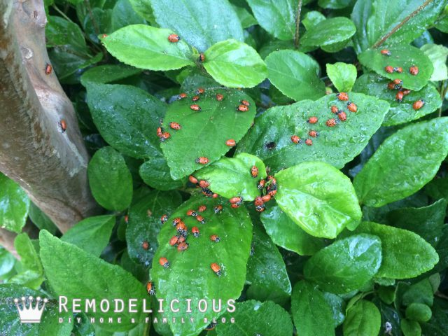 The Ladybug Project: Being a super-parent, teaching kids, and destroying aphids.  |  Remodelicious