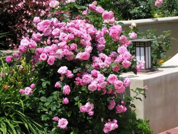 Роза флорибунда: фото, особенности ухода, виды и сорта