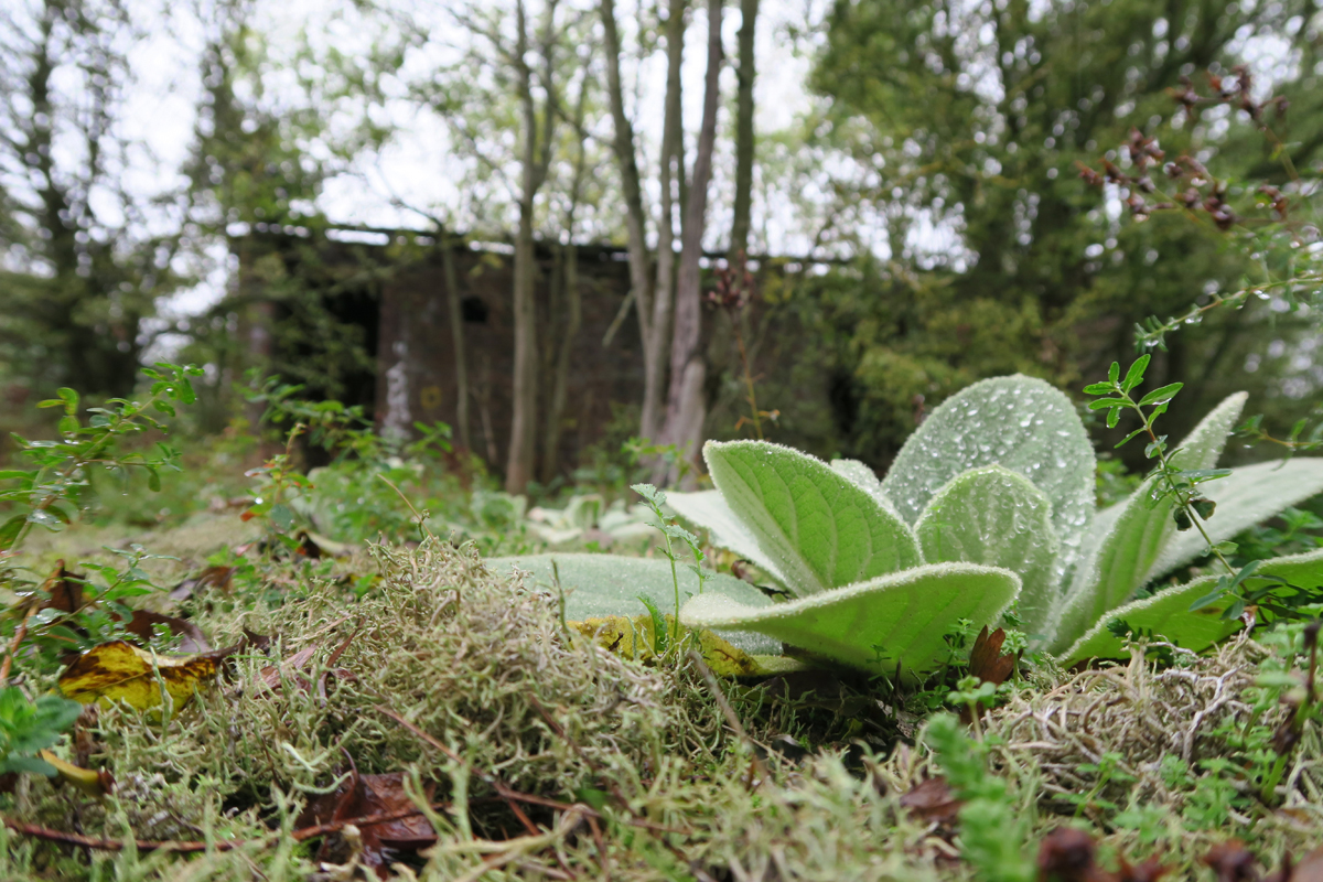 Nature flourishes amid the derelict remains of the Orchard Hospital on Dartford Marshes