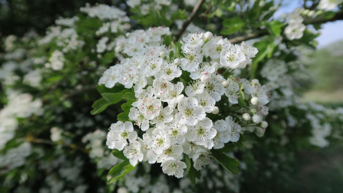 Hawthorn blossom, small, fragrant white flowers