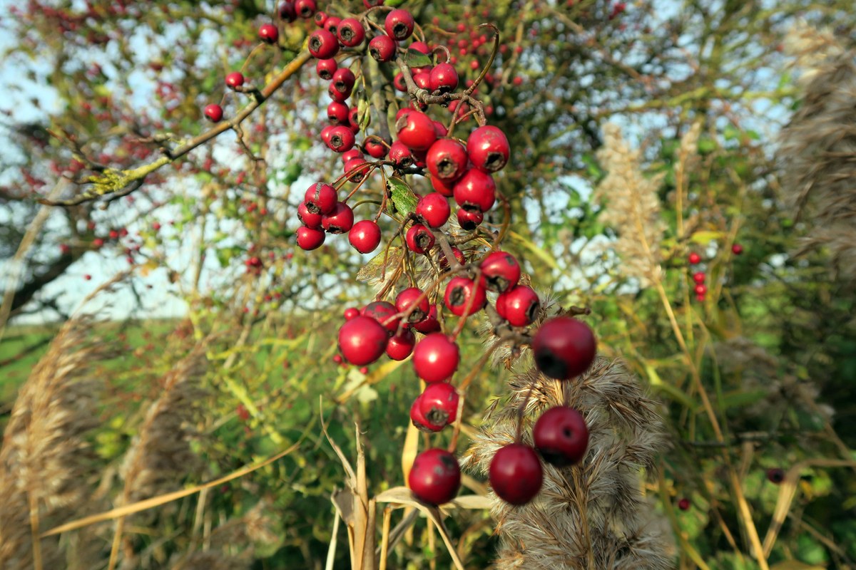 Red hawthorn berries hang in thick clusters