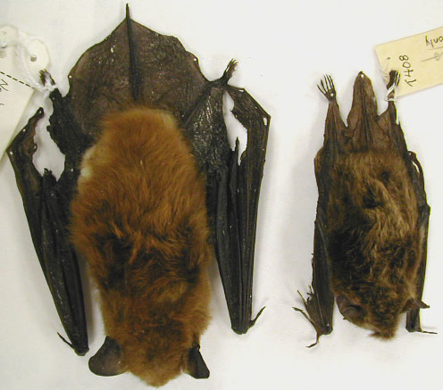 bat-removal-in-madison