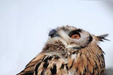 eagle owl 2705568 1920