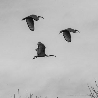 Ibis Eremita. Parco Faunistico La Torbiera, 2015 - Nikon D810, 390mm (85-400mm ƒ4.5-5.6) 1/1250 ƒ/36 ISO 3200