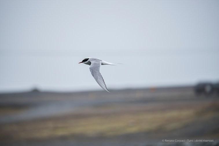 Arctic Tern (Sterna paradisaea). Nikon D810, 400 mm (80-400.0 mm ƒ/4.5-5.6) 1/800 sec ƒ/6.3 ISO 400