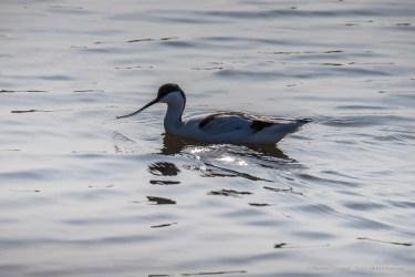 Pied avocet (Recurvirostra avosetta). Nikon D750, 600mm (Sigma 150-600 ƒ/5-6.3) 1/1600 sec ƒ/13 ISO 800