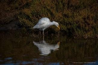 Cattle egret (Bubulcus ibis). Nikon D810, 600mm (Sigma 150-600 ƒ/5-6.3) 1/80 sec ƒ/6.3 ISO 400