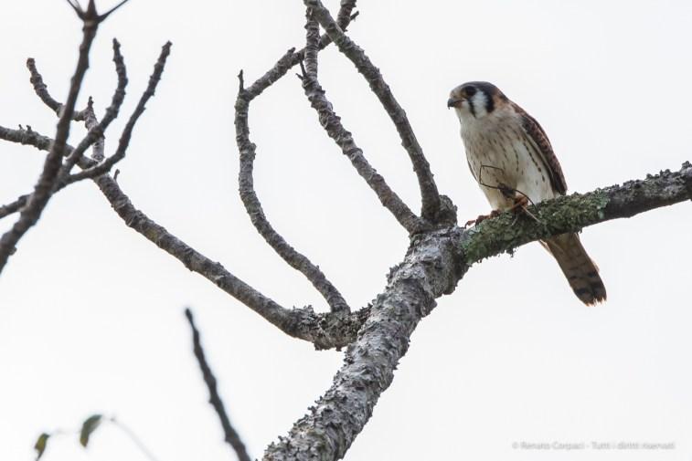 "American kestrel (Falco sparverius). Nikon D750, 400 mm (80-400.0 ƒ/4.5-5.6) 1/500"" ƒ/11 ISO 400"
