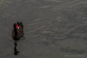 "A black swan in Villeneuve Loubet. Nikon D810, 120 mm (24-120,0 mm ƒ/4) 1/250"" ƒ/5.6 ISO 800"