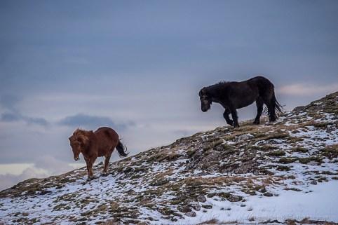 "Horses pasturing near Höfn. Nikon D750, 400 mm (80-400.0 mm ƒ/4.5-5.6) 1/500"" ƒ/8 ISO 800"