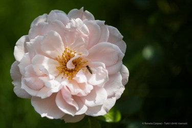 English Rose by David Austin Roses. Nikpn D810, 105 mm (105.0 mm ƒ/2.8) 1/1000 ƒ/3 ISO 64