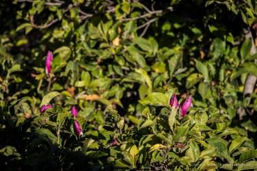 "Infiorescenza estiva di una magnolia. Nikon D810, 380 mm (Sigma 150-600 ƒ/5-6.3) 1/160"" ƒ/6.0 ISO 64"