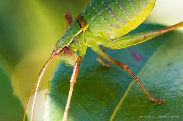 Cricket (Gryllus campestris). Nikon D810, 105 mm (105,0 mm ƒ/2.8) 1/400 ƒ/14 ISO 5000