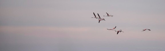 """A flock of flamingos leaves the marshes of las Marismas at sunset. Nikon D750, 400 mm (80-400 mm ƒ/4.5-5.6) 1/1000"""" ƒ/6.3 ISO 800"""