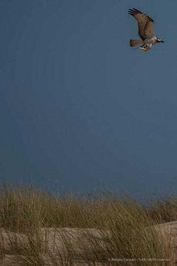 "A fisher hawk with its prey. Nikon D750, 400 mm (80-400 mm ƒ/4.5-5.6) 1/4000"" ƒ/5.6 ISO 200"