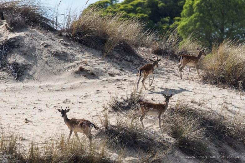 "Fallow deers on the sand dunes in Doñana. Nikon D750, 400 mm (80-400 mm ƒ/4.5-5.6) 1/2000"" ƒ/6.3 ISO 400"